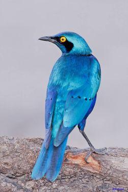 BlueBirdThrushEthiopia